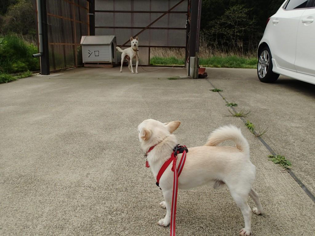 10:00 新潟東京シロ対決。このシロの家はこれだけ単体で建っていた。飼い主はここまで世話に来るようだ。